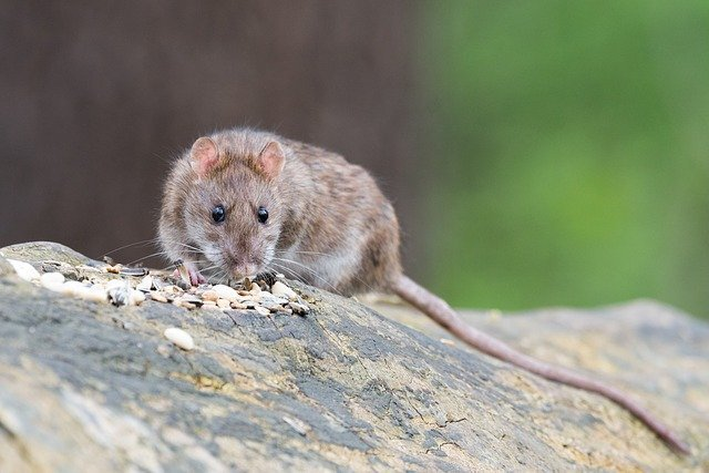 brown rat control london
