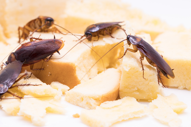 cockroaches on food