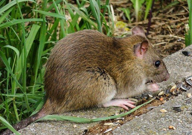 a rat outdoors in cambridge