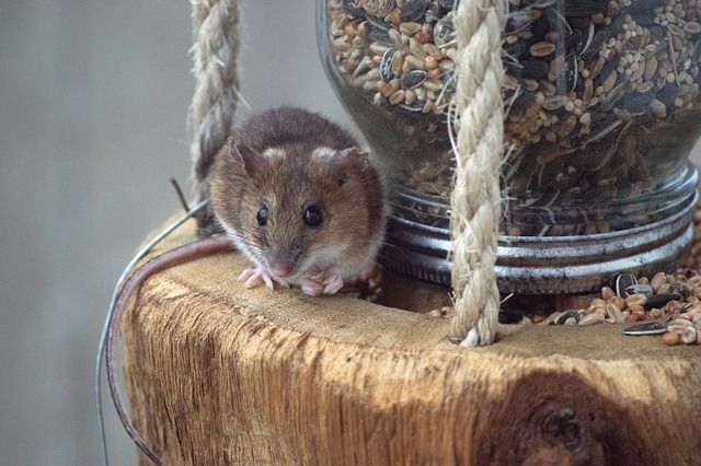 mouse on food