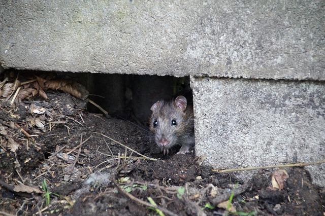 rat in hiding