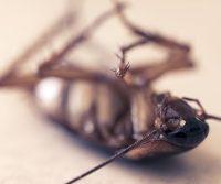 what kills cockroach egg