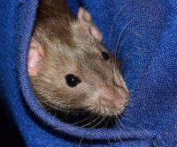 rat seeking warmth