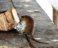 rat in lunch