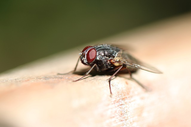 flies in the house